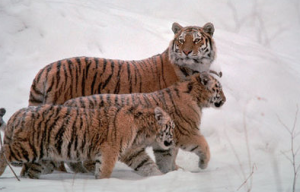 three-tigers-in-snow